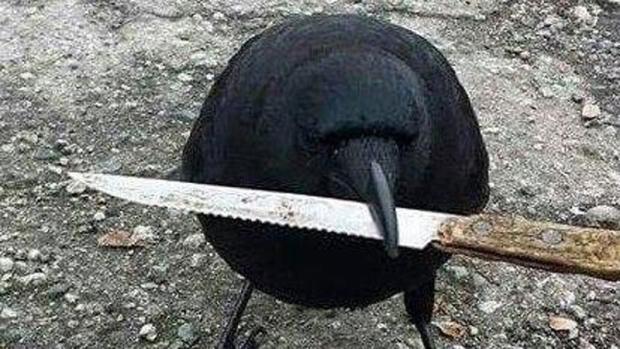 Черный ворон— друг человека