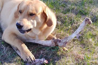 Медведь подкупил собаку оленьими костями