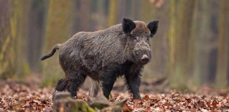 Дикие свиньи могут стать причиной экологической катастрофы