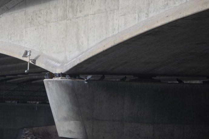 В Саскатуне предлагают уничтожить «мостовых» голубей