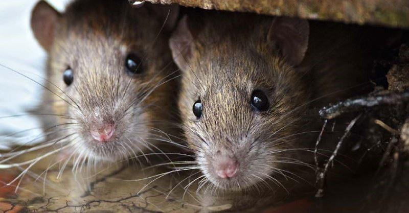 В Торонто разрастается популяция крыс