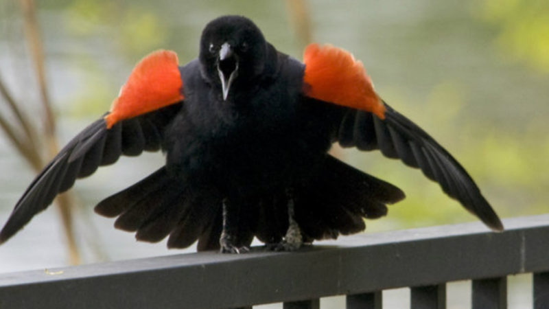 Птицы атакуют в Торонто прохожих