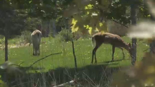 В городке Нью-Брансуика развелось слишком много оленей