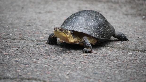 Внимание, (канадская) черепаха!