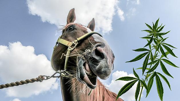 Лошадиная доза. Канадцы разработали продукты с марихуаной для коневодства