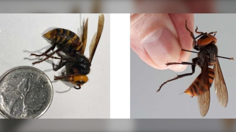 Чужие шершни впервые найдены в Канаде
