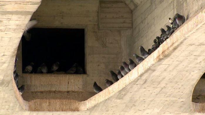 В Саскатуне уничтожили более двух тысяч голубей
