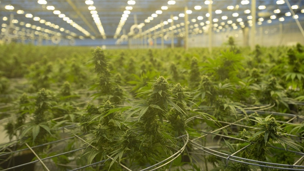Канадские пивовары всерьез взялись за марихуану