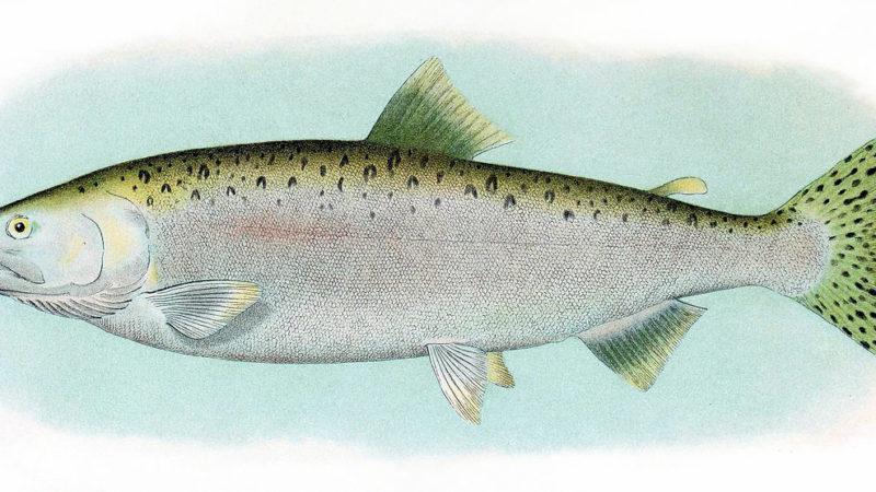 Кижуч и чавыча— новый канадский гибрид лосося