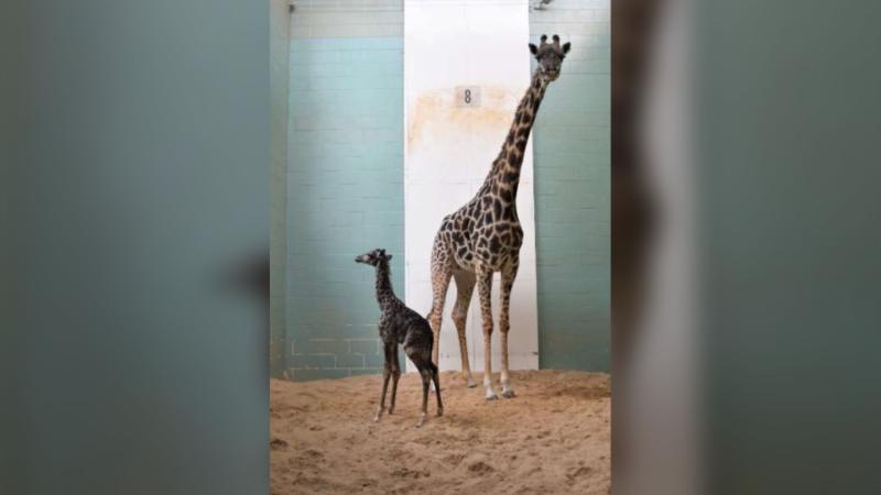 В Калгари умер новорожденный детеныш жирафа