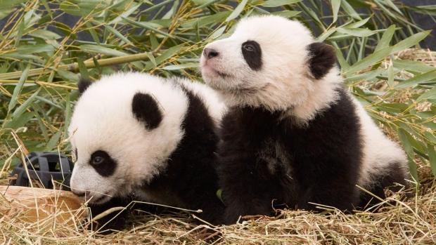 Канадская WestJet помогает кормить панд из Китая
