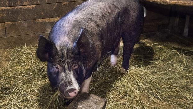 Канадская свинина возвращается в Китай