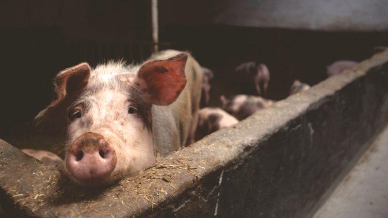 В канун года крысы в Канаде украли 130 свиней