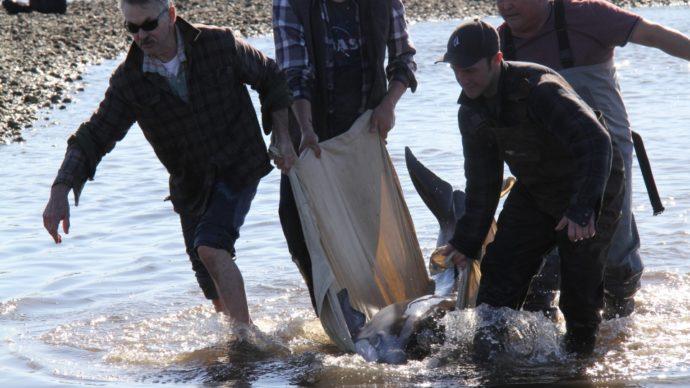 16 дельфинов спасены на тихоокеанском берегу Канады