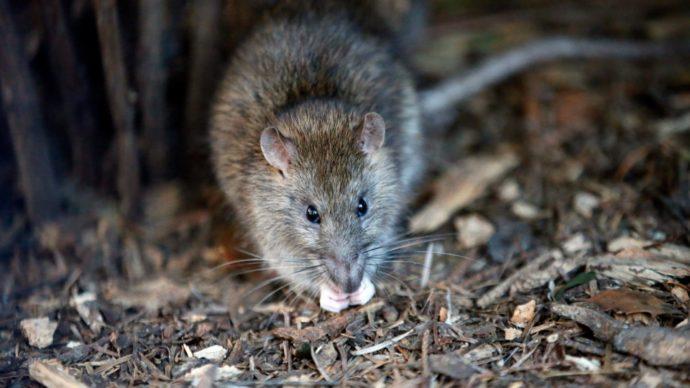 Крысы стали заметнее в канадских городах