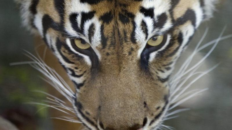 Тигры в Нью-Йoрке заболели, в Торонто— все здоровы