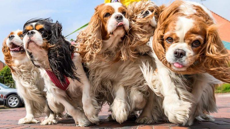 Мошенничество со щенками в период пандемии