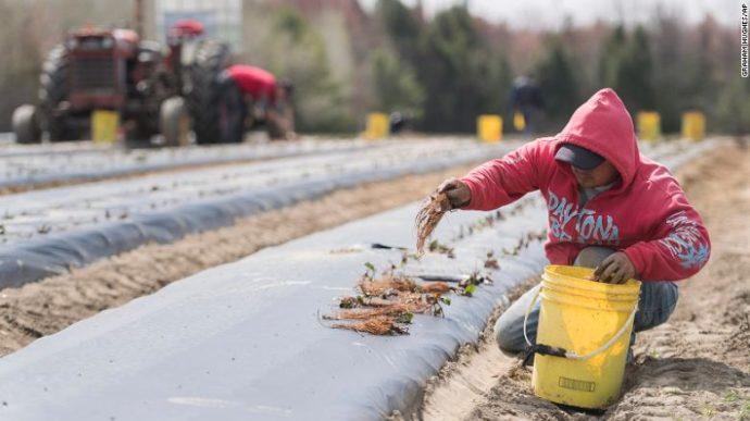 Канадским фермерам придется обойтись без мексиканских работников