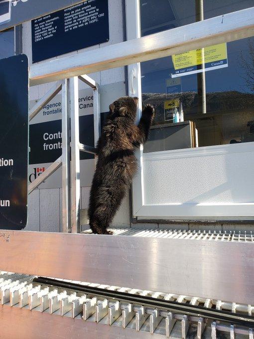 «Несовершеннолетнюю» медведицу задержали на канадской границе