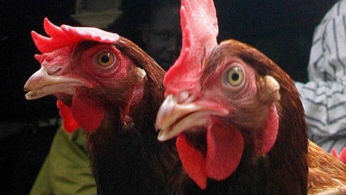 Сингапур разрешил продажу лабораторной курятины