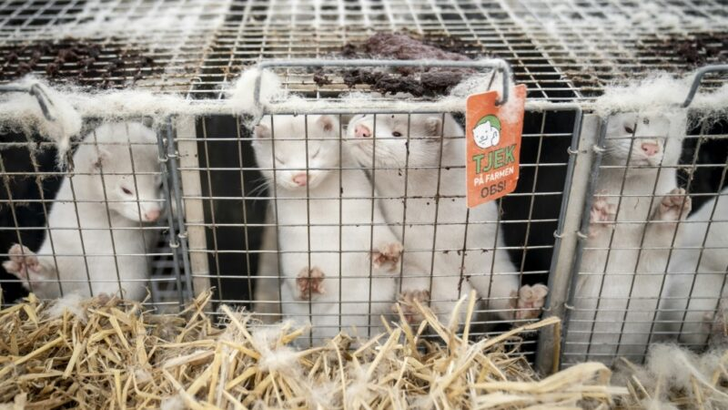 На канадской ферме погибло 200 норок