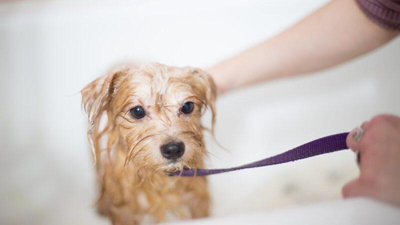 Торонто и Миссиссага хотят вновь открыть салоны по уходу за собаками