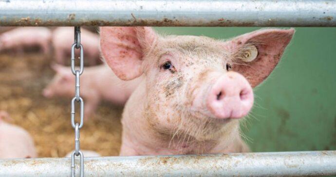 «Свинья— это звучит гордо»!— утверждают защитники животных