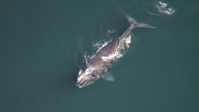 Канадские ученые следят за китами из космоса