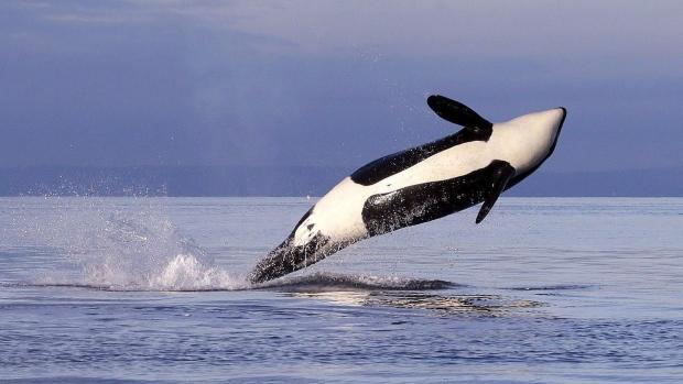 «Ковидный» год оказался неплохим для канадских китов
