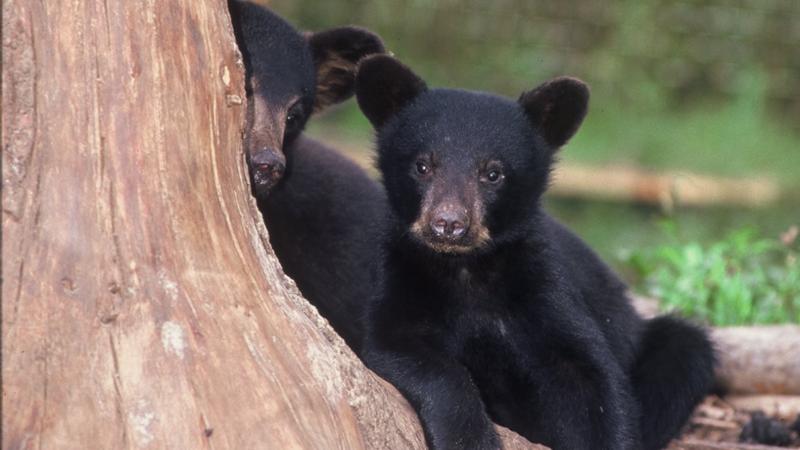 В прошлом году в Онтарио было много медвежат-сирот