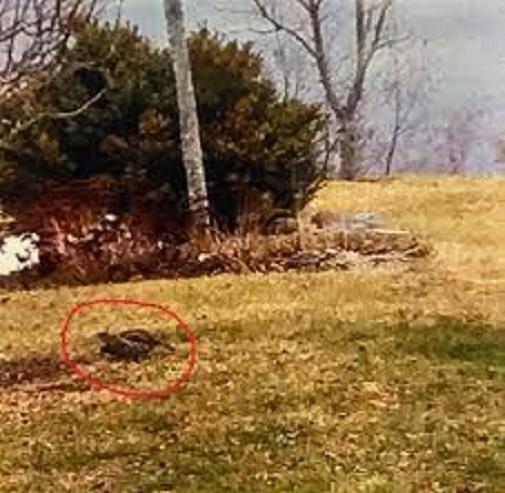 Двухголовый канадский рябчик