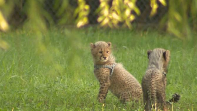 Канада помогает Африке воссоздать популяцию гепардов