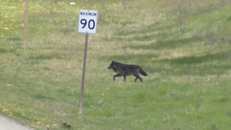 Канадский волк был убит охотником в Монтане